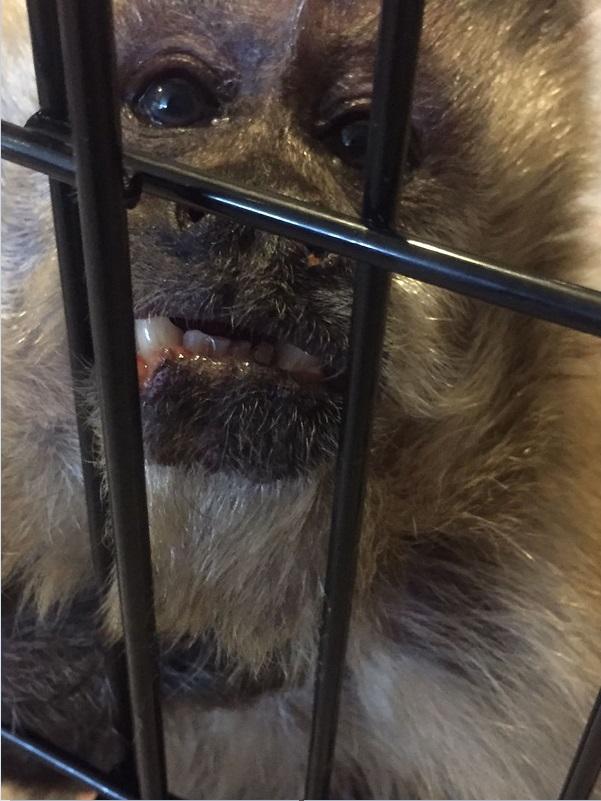 Un mono capuchino vive en cautiverio en tlalnepantla