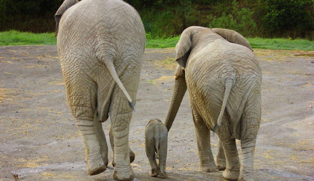 Nace primer bebé elefante africano en Puebla