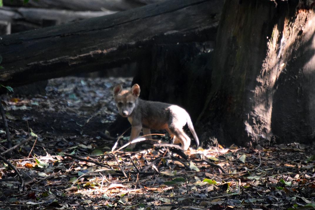 Nacen siete crías de lobo en CDMX