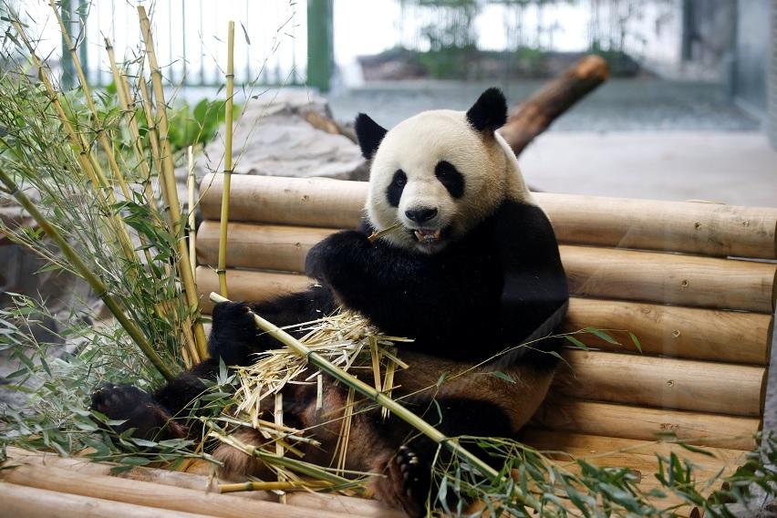 Ceremonia de bienvenida a osos panda en el Zoo de Berlín, Alemania (Reuters)