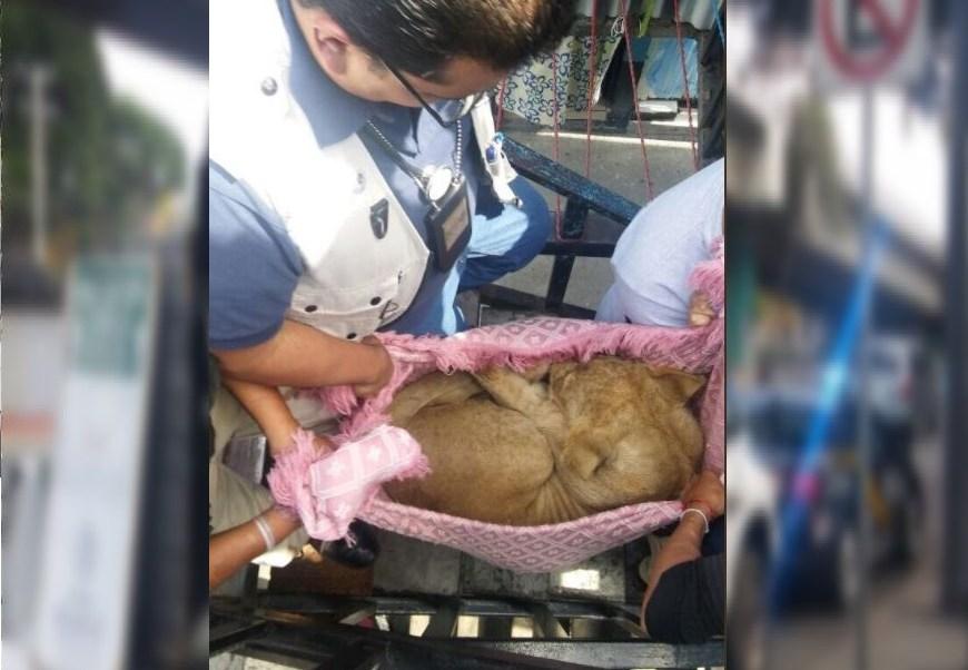 SSP-CDMX, Profepa, rescatan a un león cachorro, Merced Balbuena