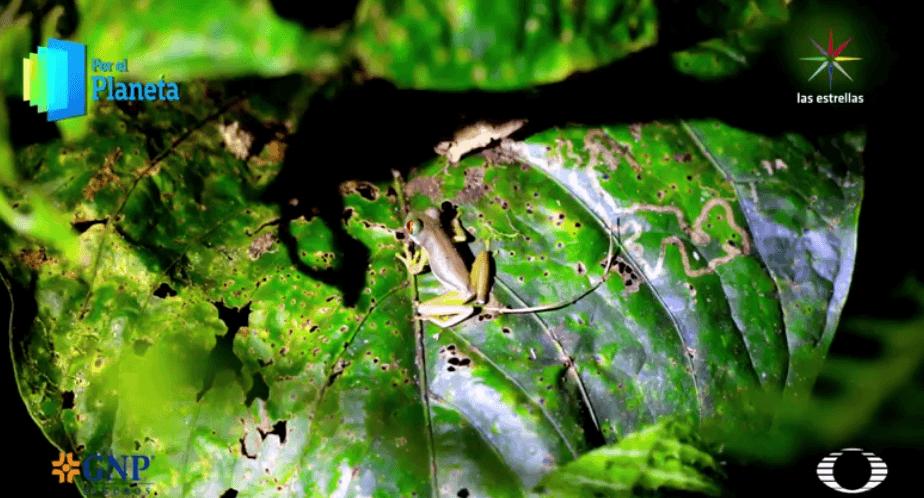 Rana de arroyo de Costa Rica