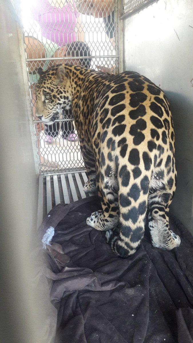 Rescatan a jaguar en San Luis Potosí