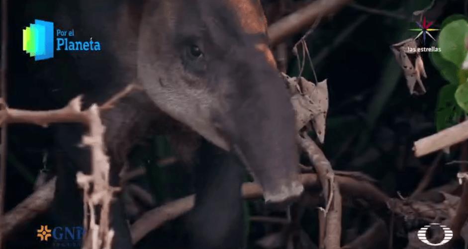 Tapir en el Parque Nacional Corcovado de Costa Rica