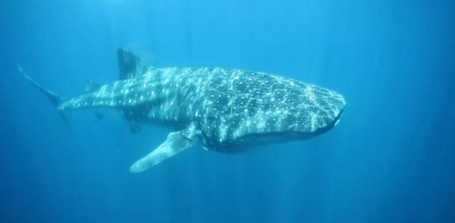 Ejemplar de tiburón ballena en el Mar de Cortés (Noticieros Televisa)