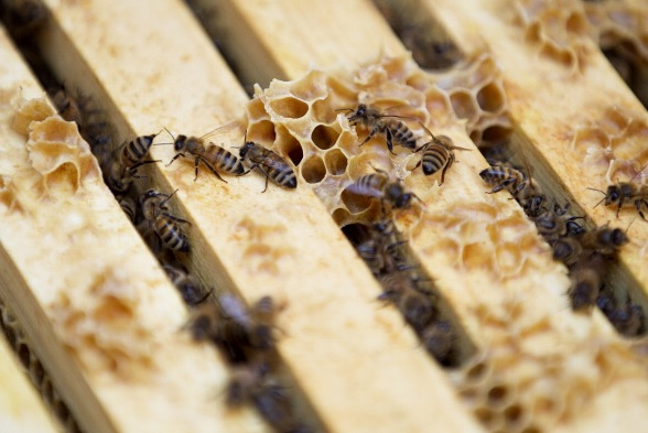 Abejas, ecología, insectos, Rehoboth, apicultores, contaminación,