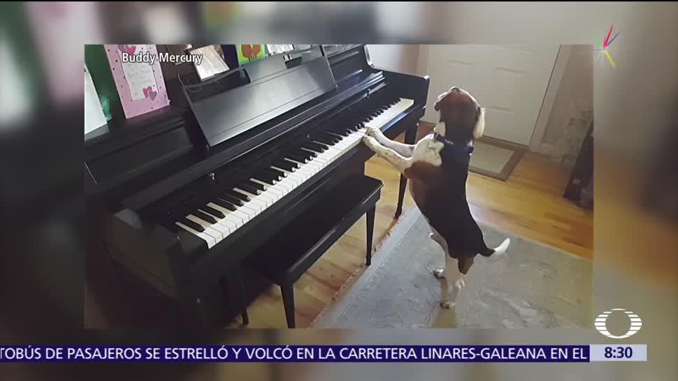 Buddy, perrito, toca, piano