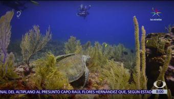 Las tortugas laúd en Caribe mexicano