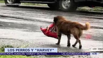 Rescatan, perros, Texas, Harvey