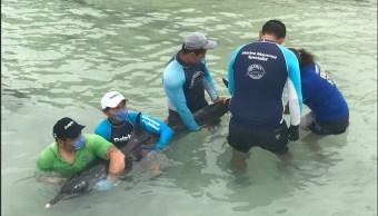 Rescatan a delfín varado en costas de Yucatán