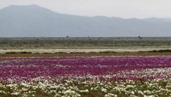 desierto atacama en chile flores