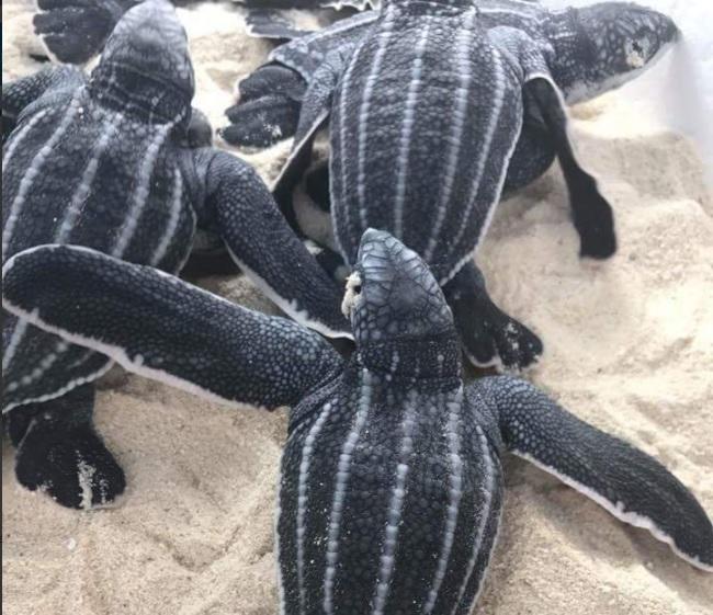 Tortugas laud son amenazadas por la depredacion del hombre
