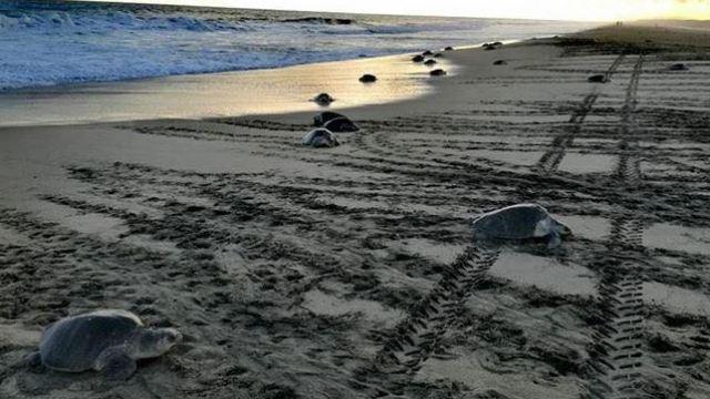 Arriban 150 mil tortugas golfinas a Oaxaca