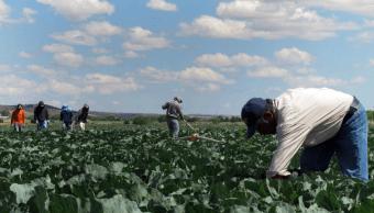 Trabajadores mexicanos realizan labores California, EU. (AP, archivo)