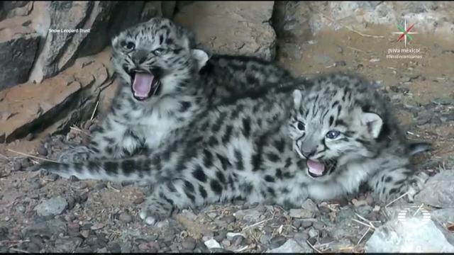 Leopardo de las nieves ya no está en peligro de extinción