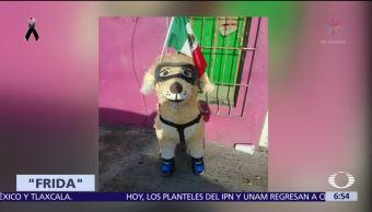 Frida se convierte en símbolo de perros rescatistas en CDMX
