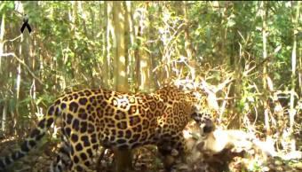 Sequía en Calakmul moviliza a felinos