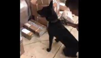 Binomios caninos detectan marihuana en jalisco