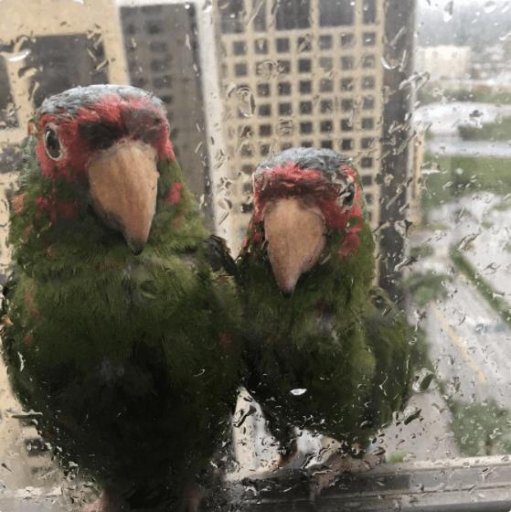 Pareja de loros, Huracán Irma, Miami, Pareja de Loritos