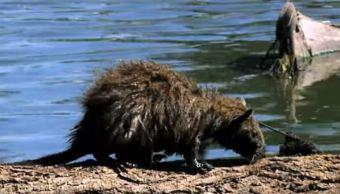 Desaparece la jutía rata cubana