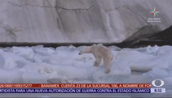 Dos tercios de la población de osos polares habrán muerto para 2050
