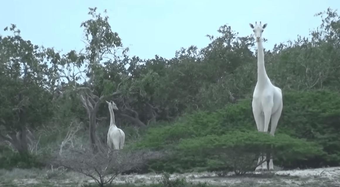 [VIDEO] Captan raras jirafas blancas en área de conservación de Kenia