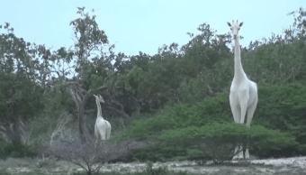 primera vez video, jirafa blanca, jirafa reticulada, ambientalistas