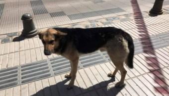orejon-perro-roba-empanada