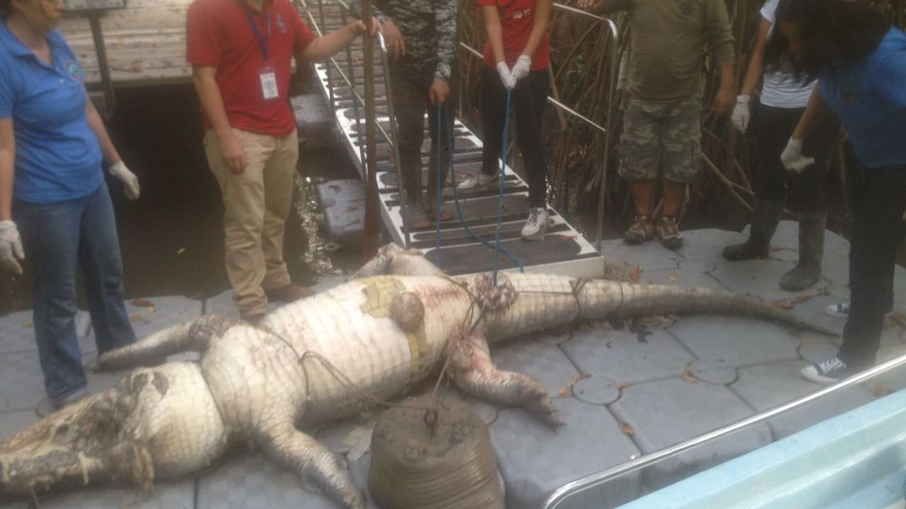 profepa invsetiga muerte de cocodrilo en puerto vallarta