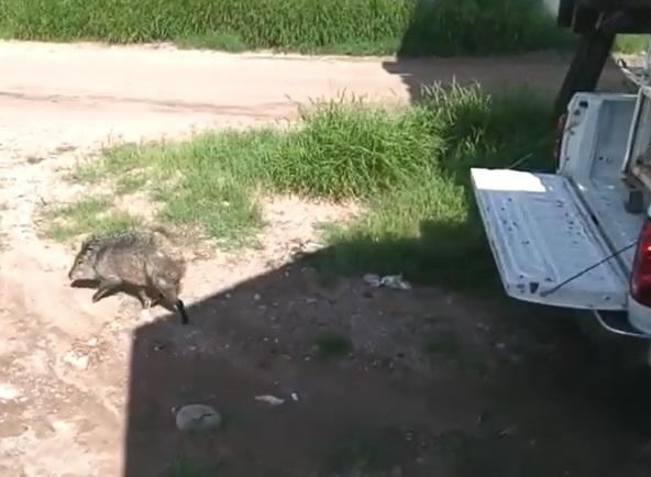 Profepa libera a un ejemplar de pecarí de collar en Chihuahua
