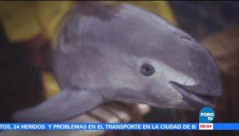 Extra, Extra: Santuario de la vaquita marina
