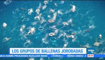 Los grupos de ballenas jorobadas