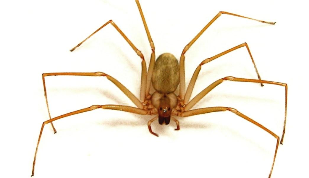 Resultado de imagen para araña violinista.