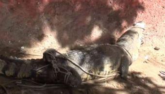 capturan a cocodrilotras crecida de rio en veracruz