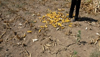 Detectan plaga en cultivos de maíz en Campeche