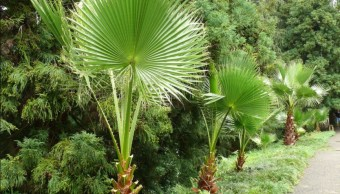 ejemplares de palma abanico de baja california sur
