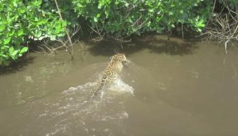 reserva ecológica, area protegida, jaguar, Nayarit