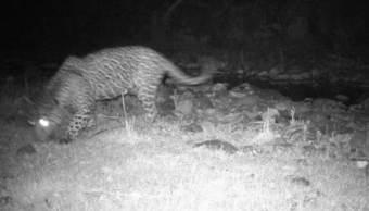 Registran primer avistamiento de un jaguar en Campo Verde