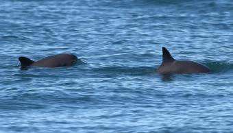 México redobla esfuerzos para preservar a la vaquita marina