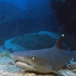 Tiburón punta blanca en Isla del Coco, Costa Rica