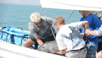 hallan cria vaquita marina golfo california