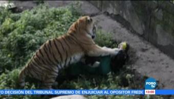 Tigre ataca a su cuidadora en un zoológico de Rusia