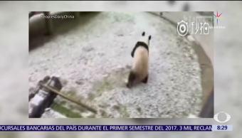 Pandas se emocionan al jugar por primera vez en la nieve