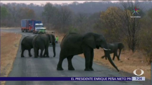 EU levanta prohibición de importar restos de elefantes cazados