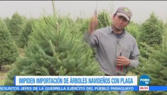 Extra Extra: Impiden importación de árboles navideños con plaga