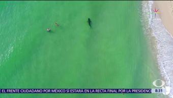 Dron capta a tiburón en playas de Miami