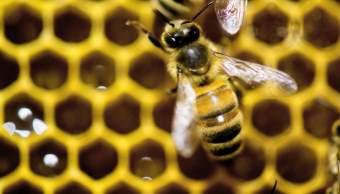 Colapso de la colmena afecta a apicultores de Yucatán