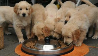 Perritos_Comiendo