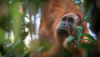 La nueva especia ha sido bautizada por los científicos como Tapanuli orangutan