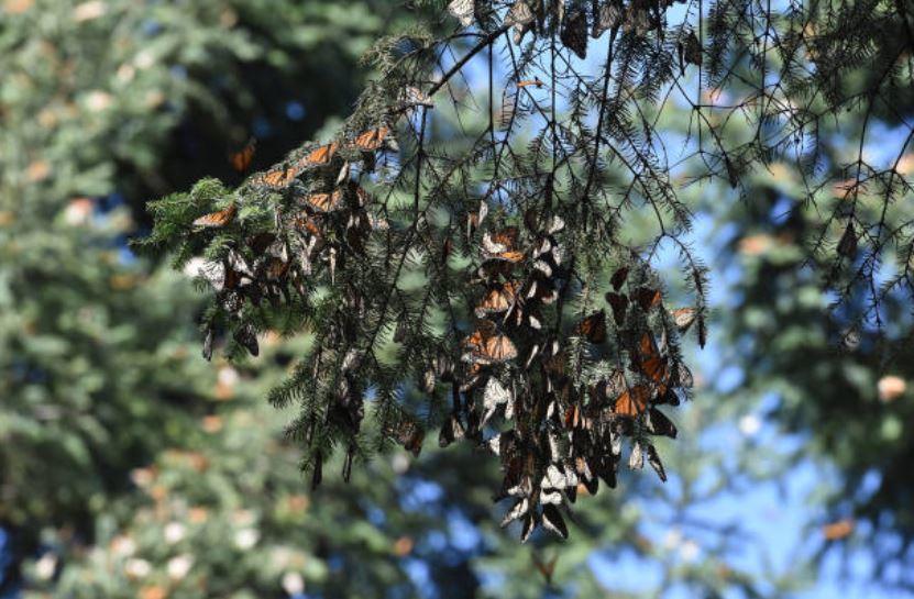 empieza migración de la mariposa monarca